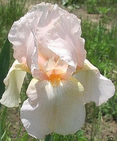 PARTY DRESS pale peach blush Historic Tall Bearded Iris | Home & Garden, Yard, Garden & Outdoor Living, Plants, Seeds & Bulbs | eBay!