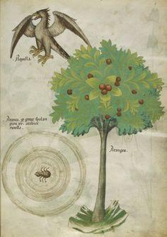 Eagle Herbal, Herbis Sloane, Herbal Lombardy, Codex Sloane, 1440 British, 4016 British, Sloane 4016, Library Sloane, Illuminatedmanuscripts Record