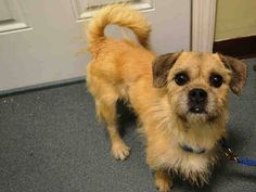 ★INTAKE 11/4/14★Brooklyn Center   PAPA - A0871265 ***RETURNED 11/4/14***  NEUTERED MALE, CREAM / TAN, CAIRN TERRIER / PUG, 5 yrs OWNER SUR - EVALUATE, HOLD FOR ID Reason MOVE2PRIVA  Intake condition EXAM REQ Intake Date 11/04/2014, From NY 11212, DueOut Date 11/04/2014,    For more information on adopting from the NYC AC&C, or to  find a rescue to assist, please read the following: http://urgentpetsondeathrow.org/must-read/