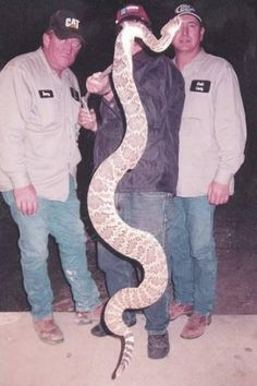 Rattlesnake caught in Clay County, WV on 5/21/05. . . . WOW . . .HUGE....