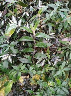 Tradescantia cerinthoides Plants, Wood, Plant, Planets