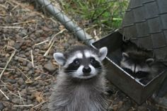 Baby Raccoons,cutest but most dangerous. :)