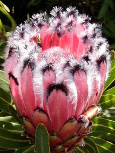 Pink Mink Protea (Protea neriifolia) The Protea plant loves the more cooler climate. The Protea gardeners do pretty good in sales on the Island of Maui in Hawaii. LOVE IT !!!!
