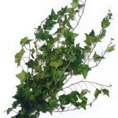 Green Ivy Green Filler flower 10 bunches/ $120;  $12 for 1 bunch each branch = 18-24inches Ivy Green Greenery 500