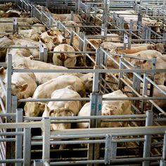Marché aux bestiaux - St Christophe en Brionnais