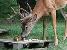 White-tail deer and squirrel