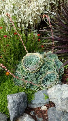 Echeveria imbricata by anniesannuals, via Flickr