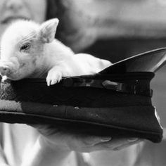 Micro mini pigs are friendly and intelligent pets.