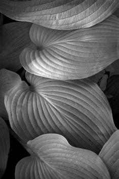 """X Limited Edition Black and White Fine Art Flora Photograph by Russ Martin """"Four Leaves"""" COA (. Photography Lighting Techniques, Light Photography, Black And White Photography, Abstract Photography, Four Leaves, Landscaping Plants, Shades Of Black, Flower Photos, Natural World"""