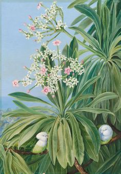 Ordeal Plant or Tanghin and Parokeets of Madagasear. by Marianne North Framed Art Print Magnolia Box Size: Extra Large Botanical Illustration, Botanical Prints, Painting Frames, Painting Prints, William Blake Paintings, Marianne North, Gravure, Fine Art Paper, Framed Art Prints