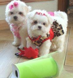 Volledige geregistreerde Molly is onze Maltese pup voor adoptie Molly is vol op liefde en energie voor een nieuwe gelukkige familie. Ze is al op de hoogte van shots en klaar om te gaan