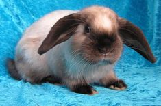 The Sallander Rabbit has a coat that looks like it's been painted by an artist. Sallander Rabbits are known for being lively, active, and skittish. Rabbit Life, Pet Rabbit, Different Types Of Rabbits, Rabbit Pellets, Lionhead Rabbit, Rabbit Breeds, Dog Crate, Chinchilla, Fleas
