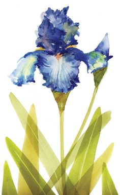 Jake Marshall watercolor. A blue iris with transparent leaves