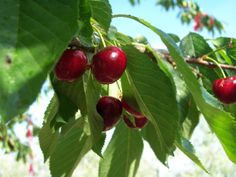 Agriturismo Il Colle, Tuscany. The fruit production company offers a variety of delicious cherries, apricots, pears, peaches, figs, almonds, walnuts. hazelnuts and apples http://www.organicholidays.co.uk/at/3207.htm