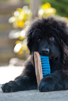 Newfoundland puppy! How cute! Now why is it when a fluffy puppy chews something we laugh, but with an adult we yell?
