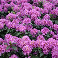 Dandy man Purple Rhododendron