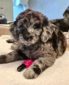 Goldendoodle puppies available for adoption/ sale in Minnesota and North Dakota. Puppies Puppies, Puppies And Kitties, Cute Puppies, Doggies, Goldendoodle Black, Australian Labradoodle Puppies, Cute Baby Dogs, I Love Dogs, Cute Little Animals