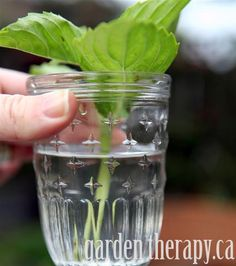 How to Propagate Basil from Cuttings (via Garden Therapy)