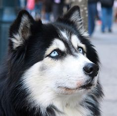 Malamute MIX!! ((it is impossible for a pure Malamute to have blue eyes, only brown or green(with red coat) are characteristic of Malamutes))