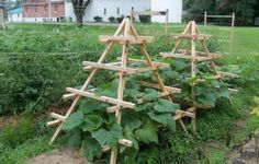 squash trellis so they don't take over your garden!