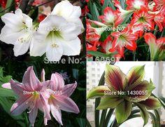 Amaryllis bulbs big 4bulbs/bag 4 color Flower bulb amaryllis seeds sementes de flores casa e jardim garden Home &garden + gift
