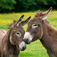 MAM 14 01 - Two Young Normandy Donkeys Nuzzling In Field Of Buttercups Normandy - Kimballstock Baby Donkey, Cute Donkey, Mini Donkey, Cute Creatures, Beautiful Creatures, Burritos, Farm Animals, Cute Animals, Egyptian Mau
