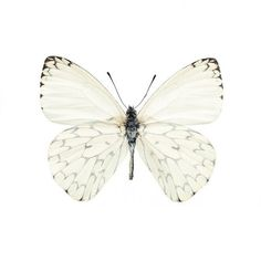 White innocent Butterfly