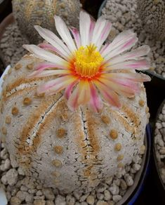 Cactus' flower