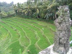 Paisaje de arrozales balineses cerca de Ubud, Bali