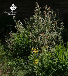 orange globemallow native plant for pollinators