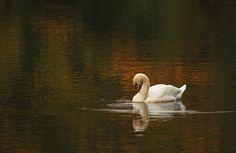 Autumn swan on the water by Adam Konieczny on 500px
