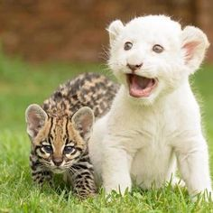 baby lion and ocelot