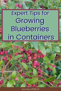You can grow blueberries in containers. Here an expert shares his tips on what kind of potting soil to use, how often to change it, and what you need to know about watering and winter care of your blueberry bushes. #containergardening #blueberry #beginnersgarden #blueberrrybushes
