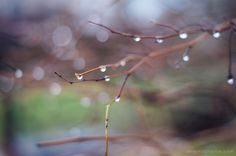 Beautimus! Water Droplets on Branch
