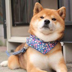 Shiba Inu Ryuji simply being handsome!