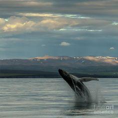 ✮ Humpback Whale
