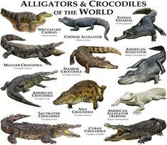 Crocodile Marin, Nile Crocodile, Saltwater Crocodile, Crocodile Facts, Crocodile Dundee, Reptiles Et Amphibiens, Mammals, Alligators, Animals Of The World