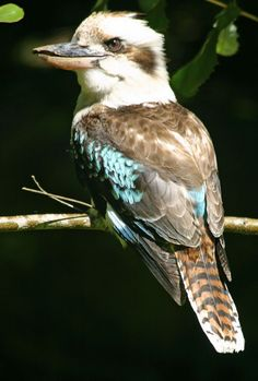 kookaburra. I am frequently visited by one of these guys. He likes to sit around ny garden and keep an eye on things.