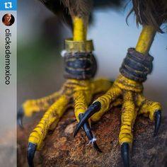 #Instaartista @clicksdemexico gran foto de este majestuoso animal!! •••Águilas aztecas, símbolo del pueblo mexicano --------------------------------- Los invitamos a usar nuestra etiqueta #⃣instaartista ----------------------------------- Imprime tus fotos en materiales increíbles con Insta-Arte en: www.insta-arte.com.mx