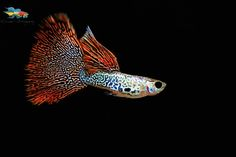 When they are fed with good frozen food like bloodworms which are rich in carotenoids, they show some amazing colors