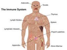 Function: immune system
