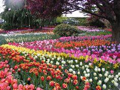Tip-toe thru the tulips ~ psychic medium dallas