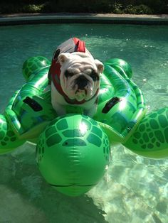 not happy! #Bulldog
