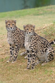 Baby King Cheetah Pictures