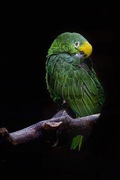 """""""The Green Parrot"""" Saatchi Online Artist: Gustavo Orensztajn; Amazon Birds, Amazon Parrot, The Green Parrot, Toucan, World Birds, Animal Fashion, Cockatoo, Parakeet, Beautiful Birds"""