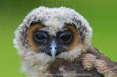 Spotted Wood-Owl (Strix seloputo) chick, Netherlands - Wil Meinderts/ Buiten