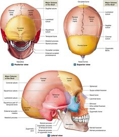 The skull's 8 cranial bones protect the brain, and its 14 facial bones form the mouth, nose, and orbits Furniture Makeover, Diy Furniture, Radiologic Technology, Facial Bones, Skull Anatomy, Reproductive System, Anatomy And Physiology, Radiology, Dentistry