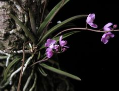 Sarcochilus ceciliae | Orchids Online