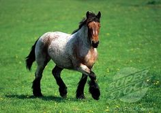 SuperStock - Ardennes Horse, young, trotting, Belgium