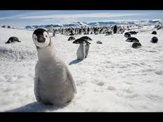 Funny and cute penguin videos compilation - http://positivelifemagazine.com/funny-and-cute-penguin-videos-compilation/ http://img.youtube.com/vi/ZyBiiWwBbTg/0.jpg  Penguins can be really funny, foolish or both sometimes  Hope you liked this compilation. If so, please subscribe. Thanks! Check out also our other channels … ***Get your free domain and free site builder*** [matched_content] ***Get your free domain and free site builder*** Please follow and like us: